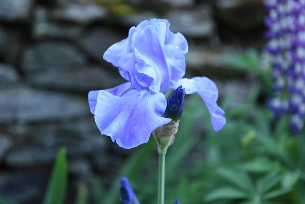 iris de tous les bleus