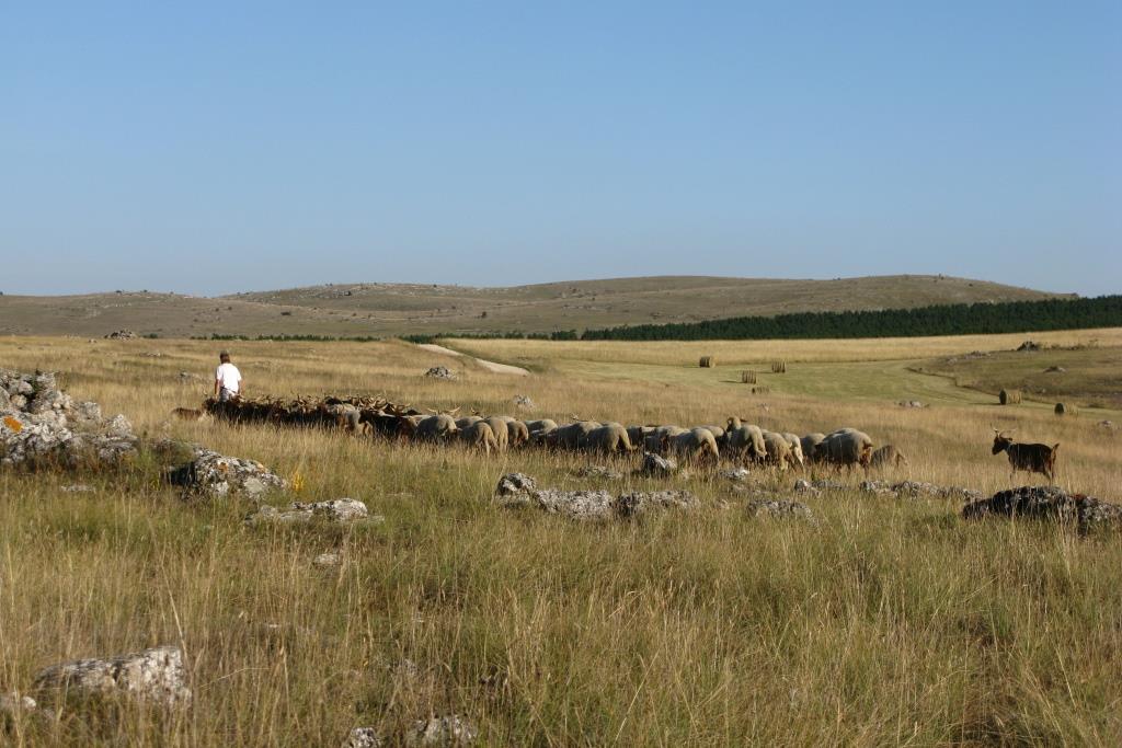 troupeau sur le Méjean