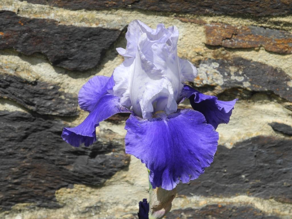 iris traduit en lys