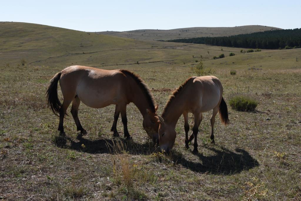 chevaux de Prewalski