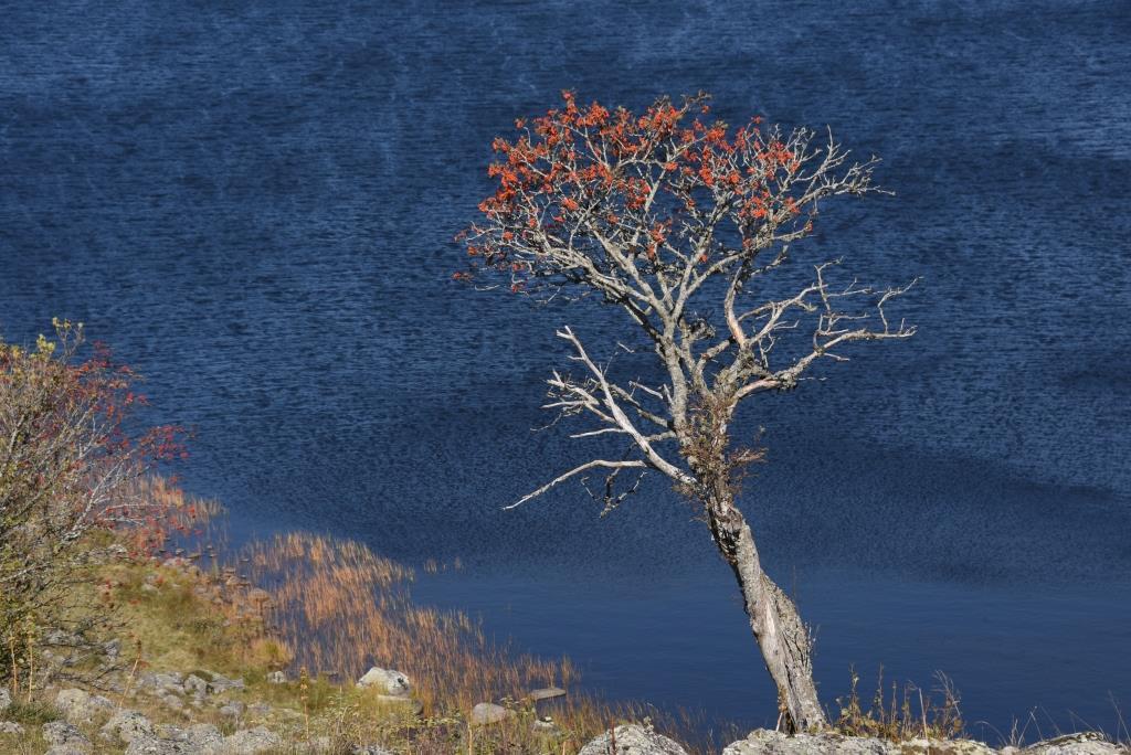 sorbier au bord du lac