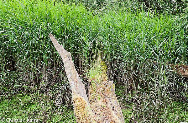 old tree in reed belt