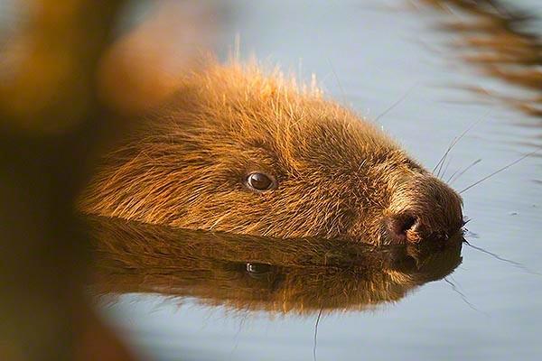curios beaver