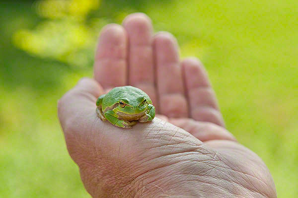 leef frog on the hand