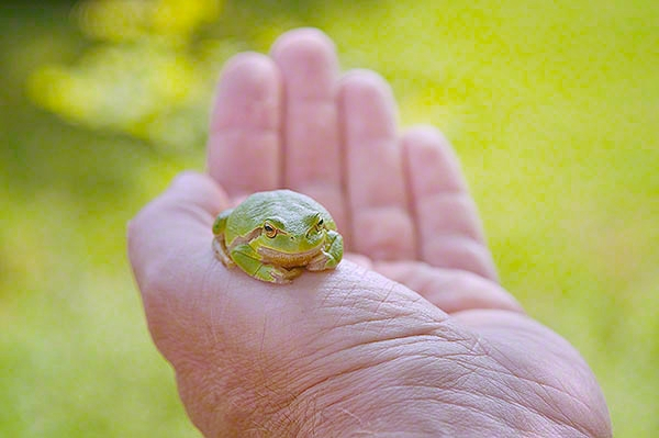 tree frog on the hand of man
