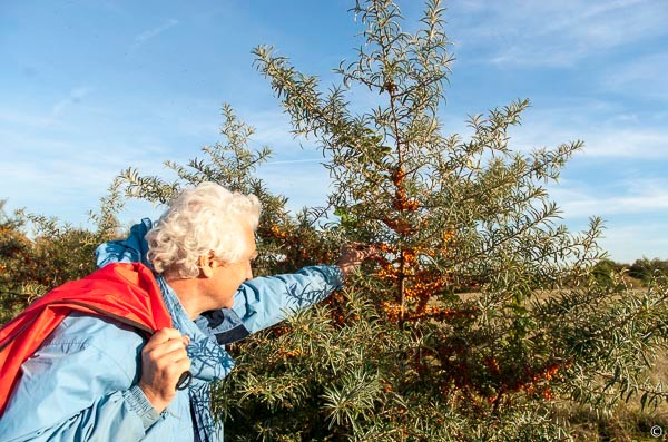 trying the fruit of the Seabuckthorn