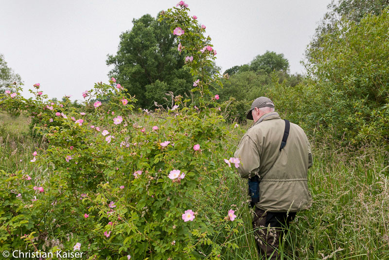 the Nesssand warden in the wild roses