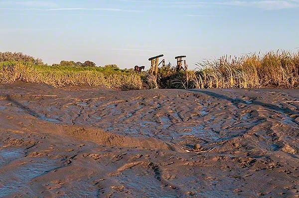 tidal mud flats at elbe behind a horse