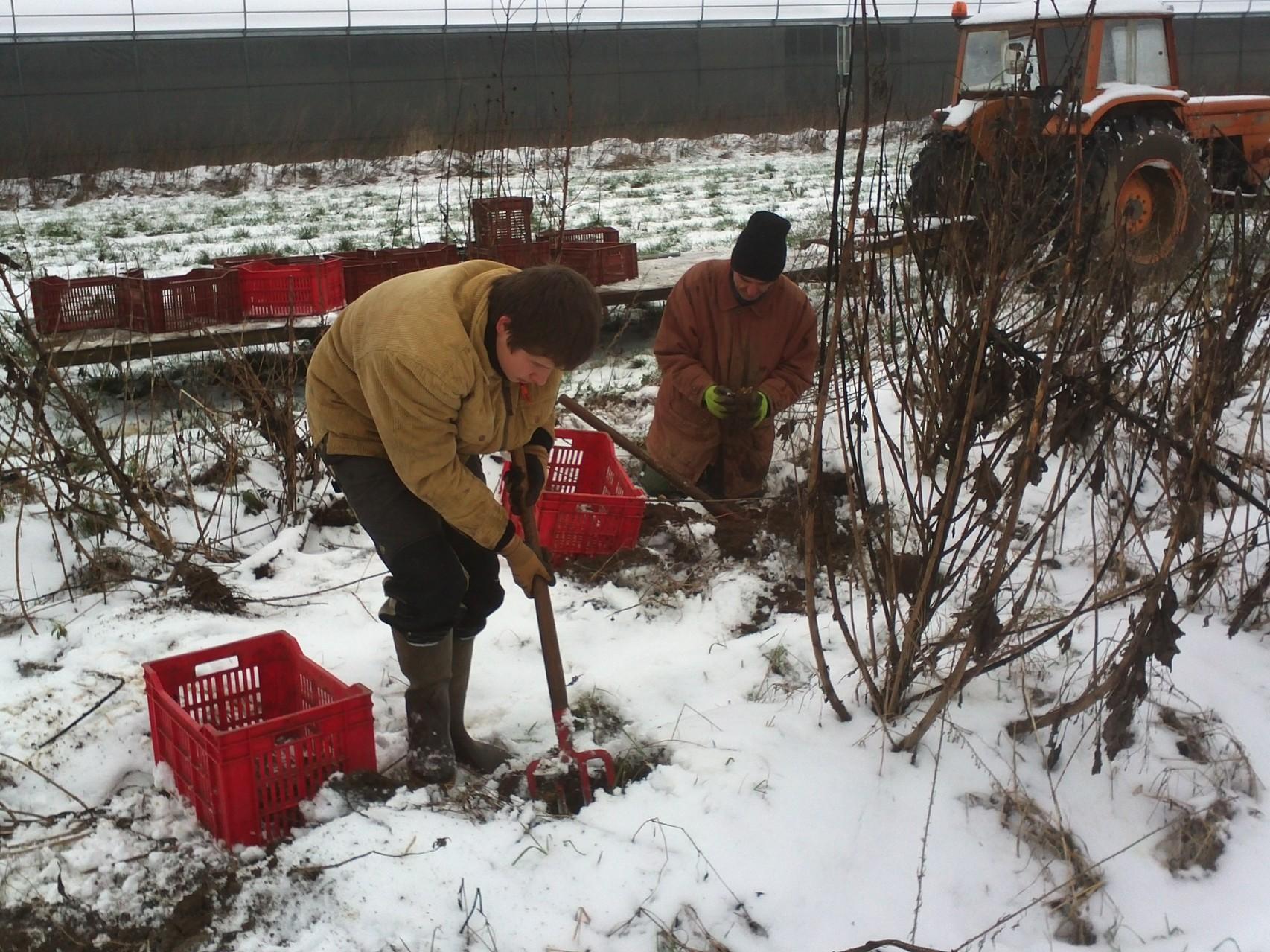 récolte sous la neige!