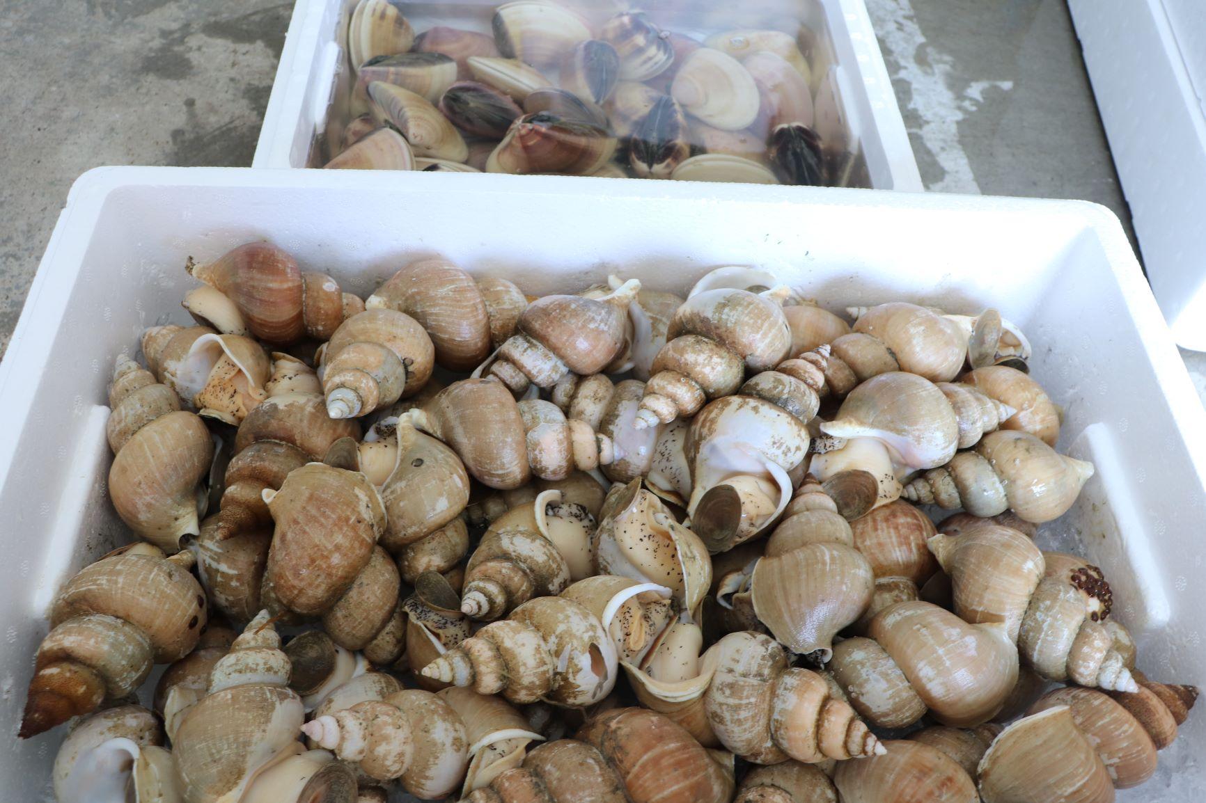 2種類の貝を入荷しました。