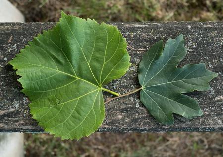 Blätter der Linde und des Feldahorns