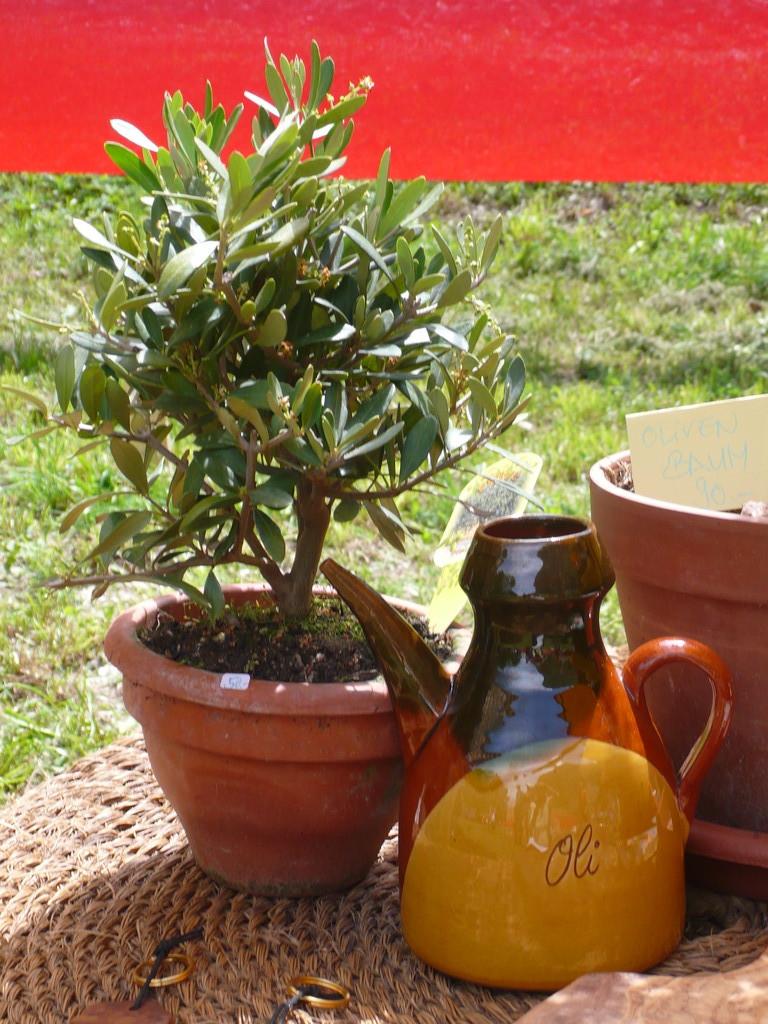 Bonsai Olivenbaum