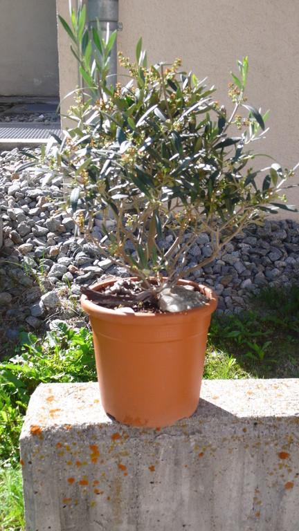 Ein Olivenbaum in Blüte.