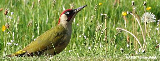Vogel des Jahres 2014 - Der Grünspecht