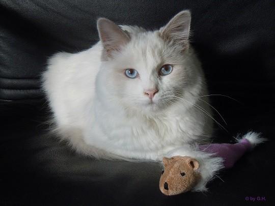 Merlin ist ein Lilac-Bicolor Ragdoll Kater.