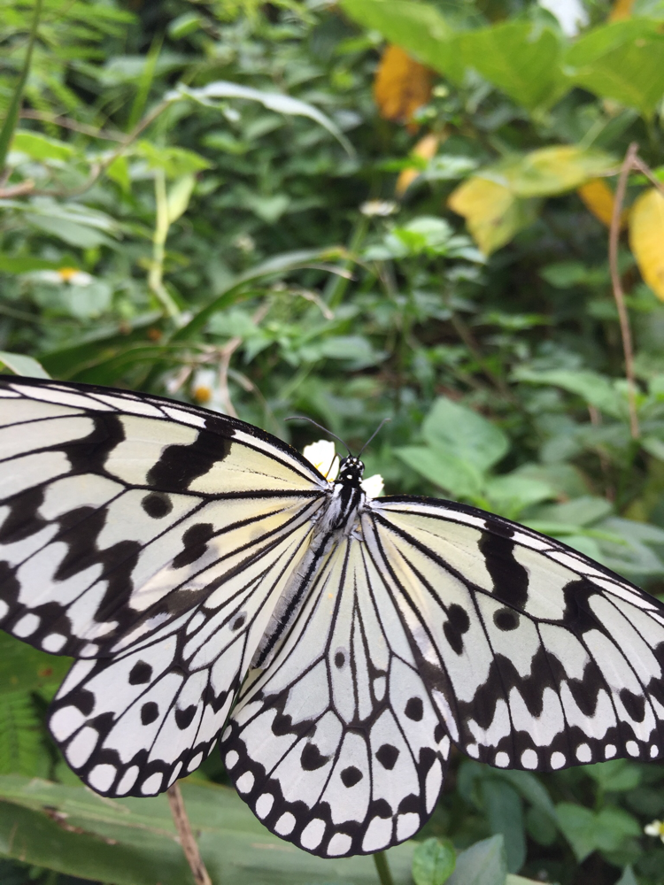 オオゴマダラは日本最大級の蝶