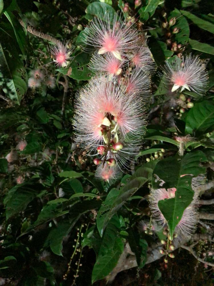 さがり花は朝方には落ちてしまう儚い花