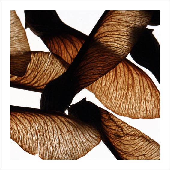 Disamare di Acer pseudoplantanus