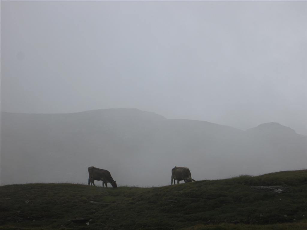 Vaches et brume à la Scatta d'Orogna (2461m)