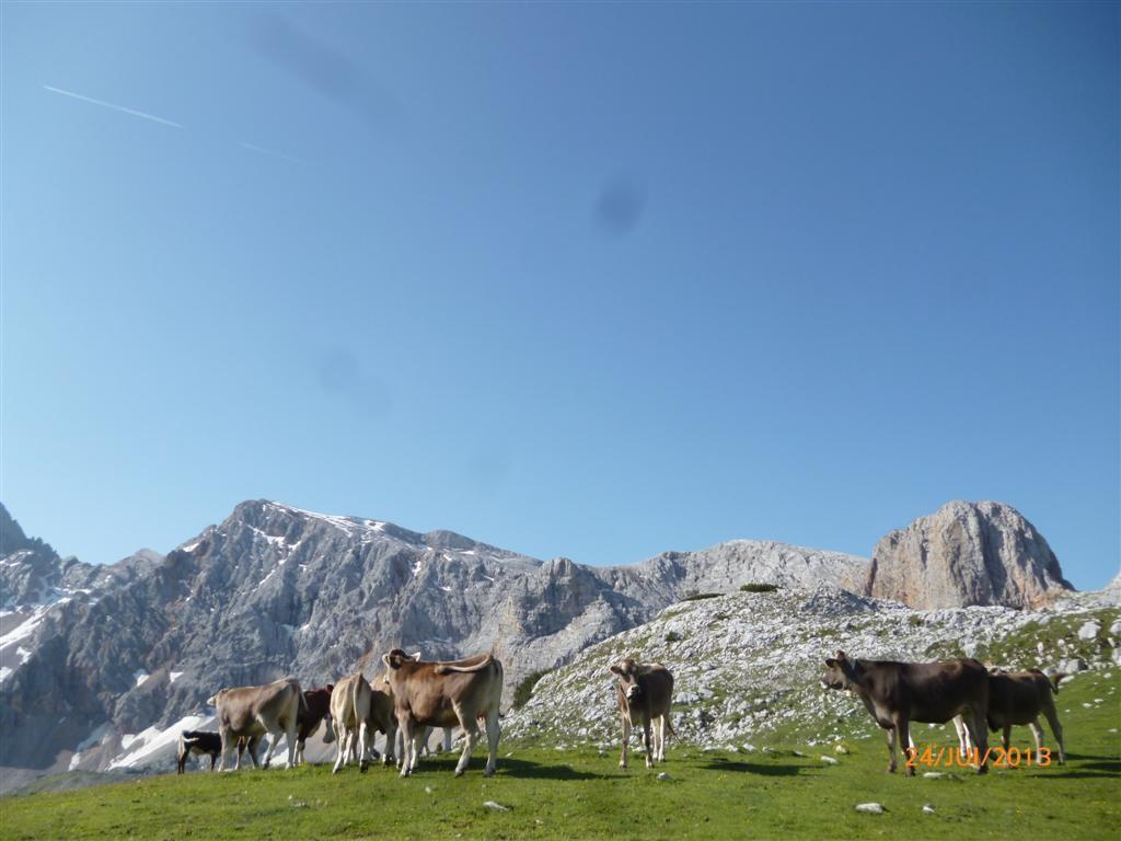 Vaches sur fond de Monte Croda Rossa