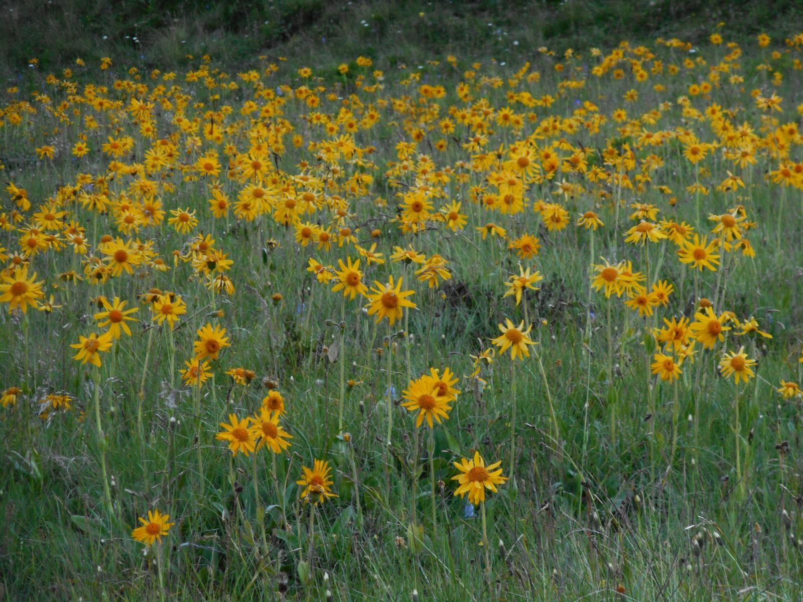 Un champ d'Arnica Montana