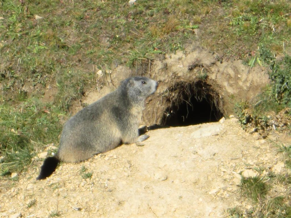 Dame marmotte sur le plateau di Gardetta (2335m)