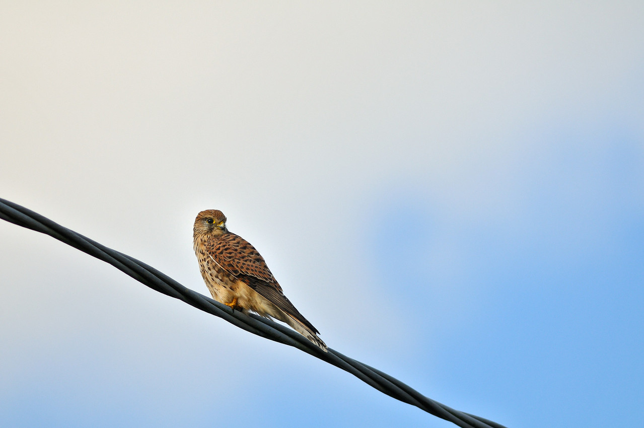 Gheppio - Common Kestrel
