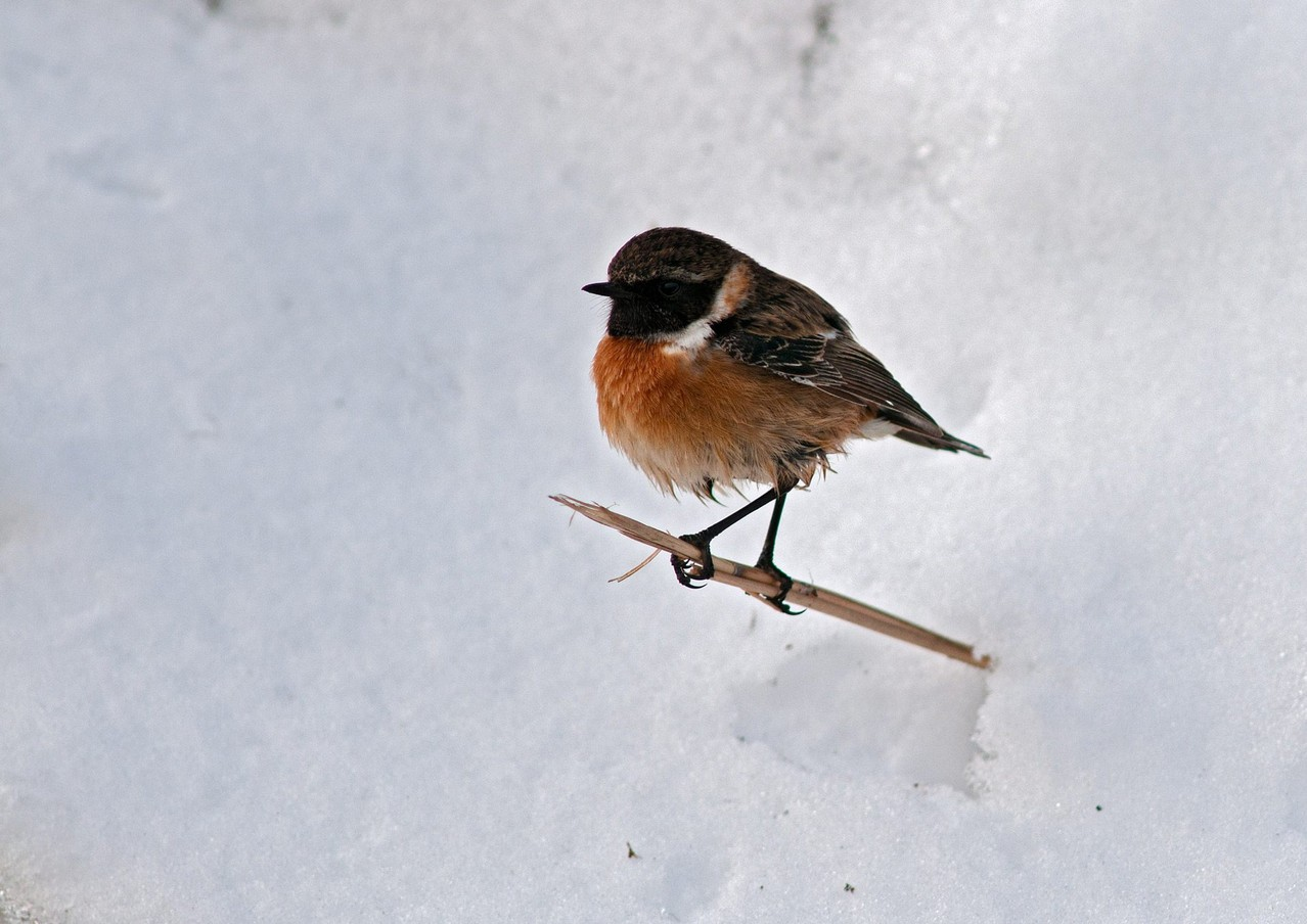Saltimpalo africano - African Stonechat