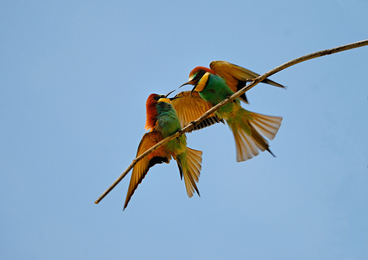 Gruccioni - Bee-eater