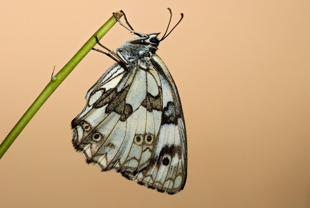 Melanargia galathea - Marbled White