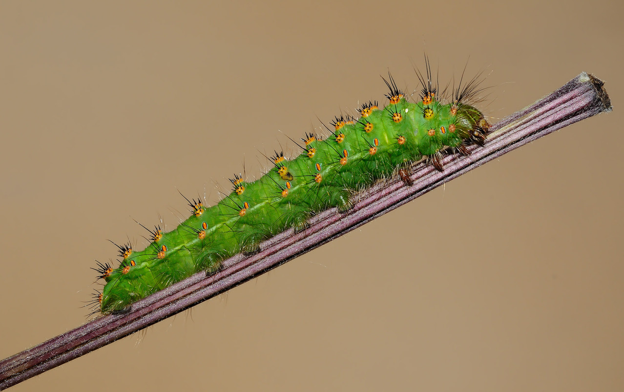 Bruco di Saturnia Pavoniella - Caterpillar of Saturnia Pavoniella