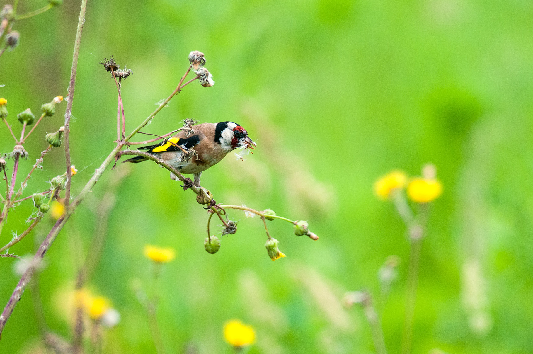 Cardellino - European Goldfinch