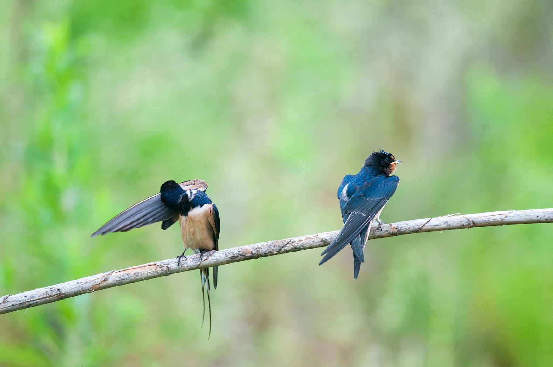 Rondine comune - Barn Swallow
