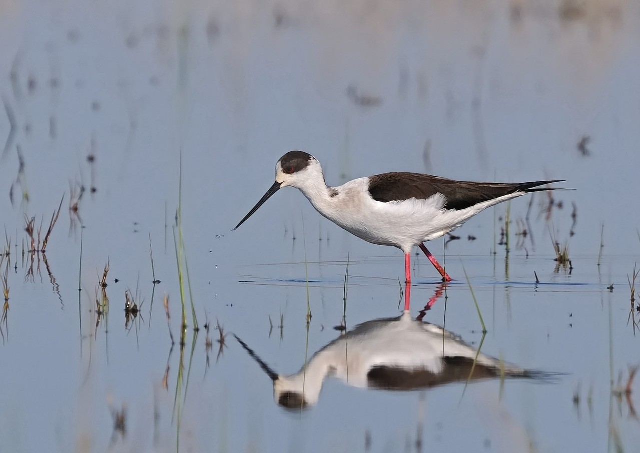 Cavaliere d'Italia - Black-winged Stilt