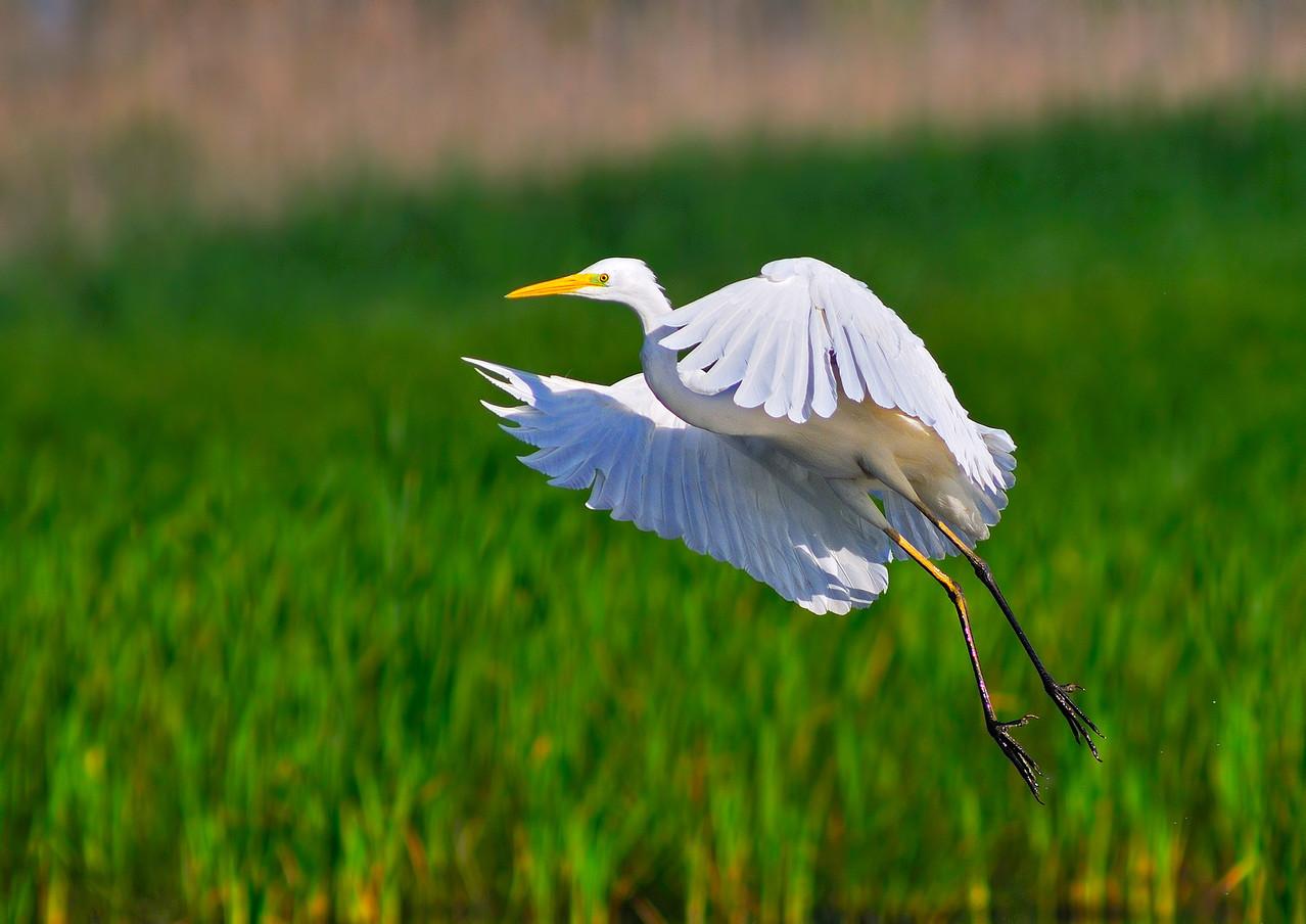 Airone bianco maggiore - Great White Egret