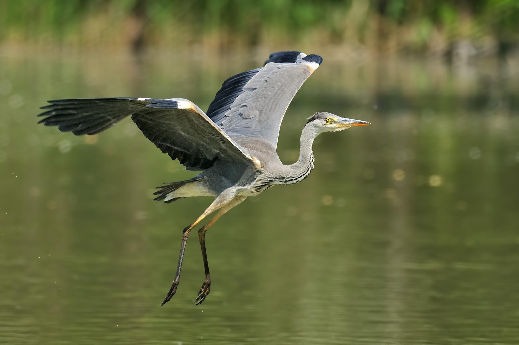 Airone cenerini - Grey heron
