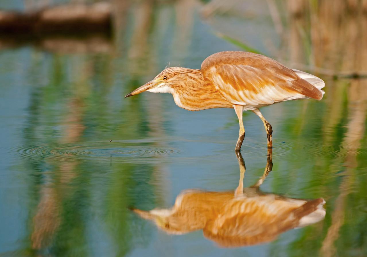 Sgarza ciuffetto - Squacco Heron