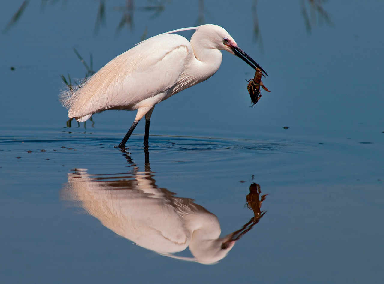 Garzetta - Little Egret