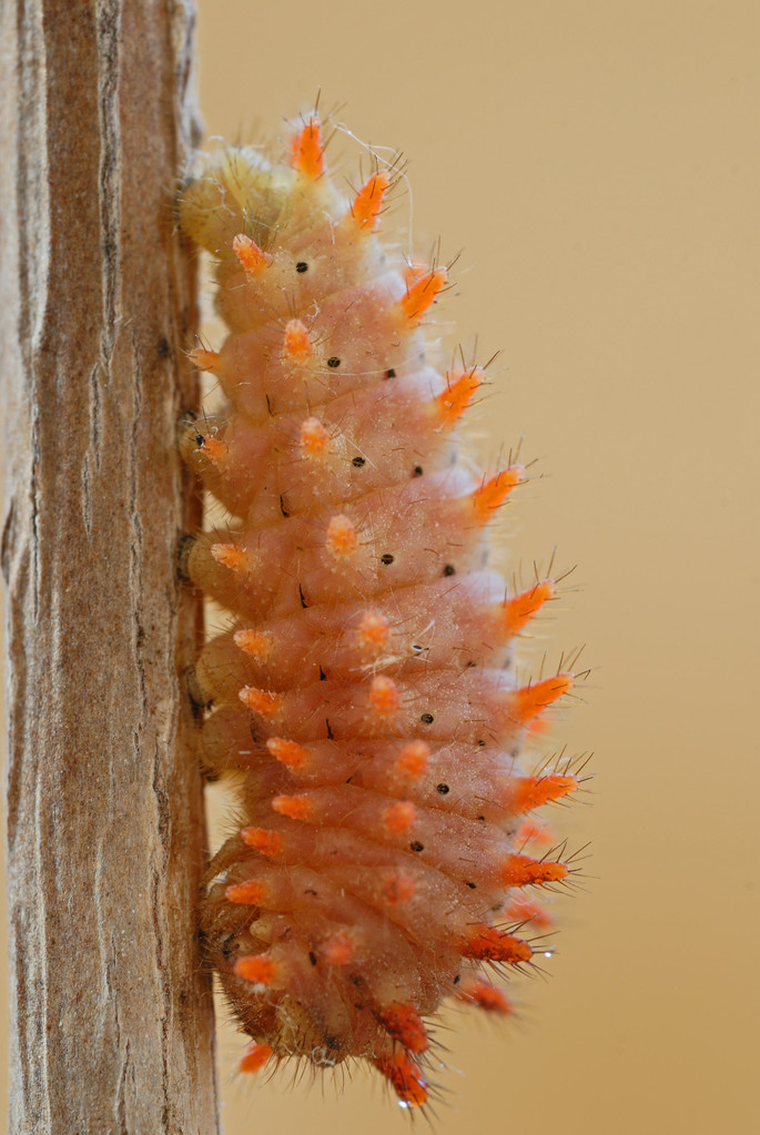 Bruco di Zerynthia polyxena - Caterpillar of Southern Festoon