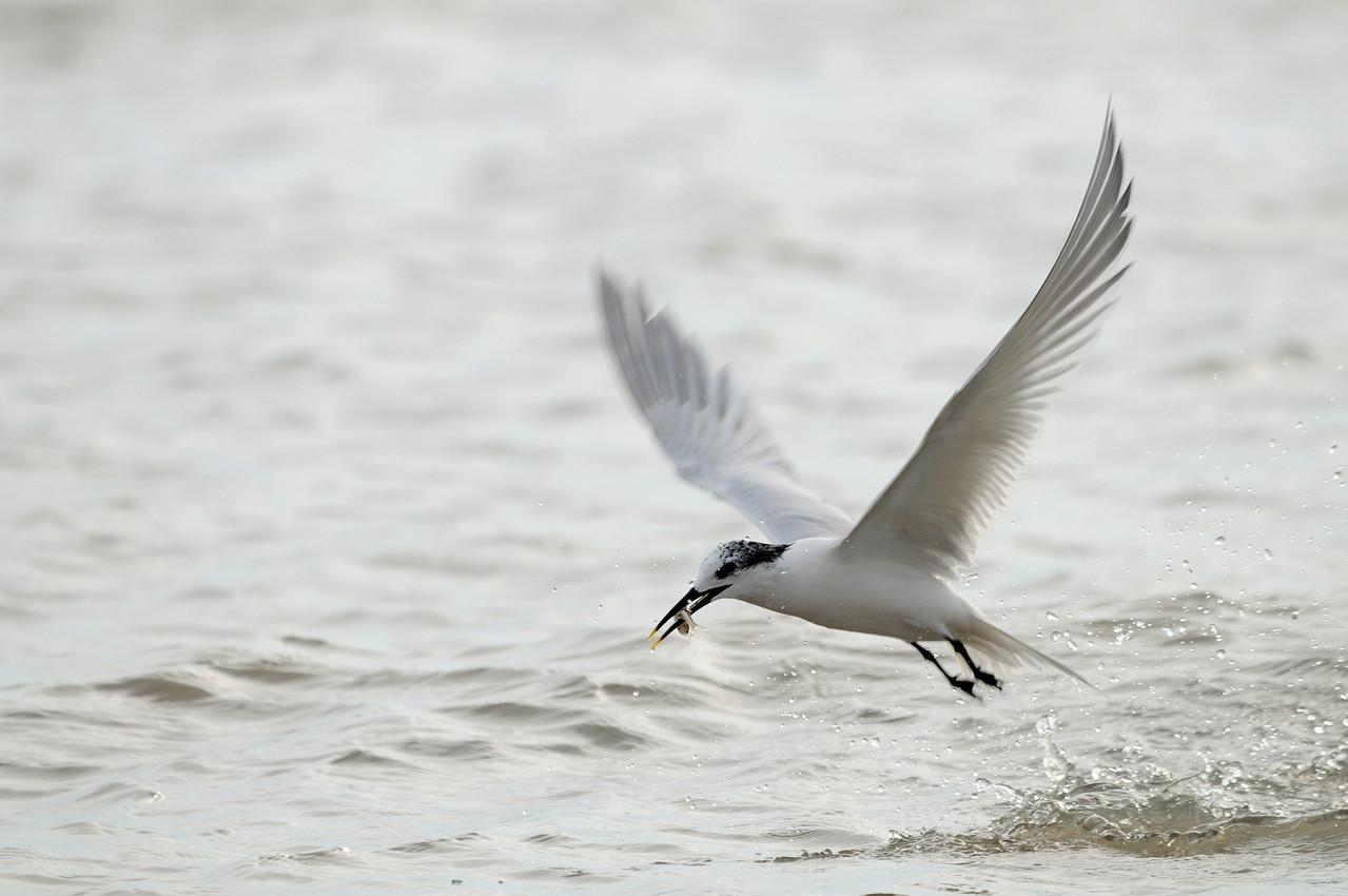 Beccapesci - Sandwich Tern