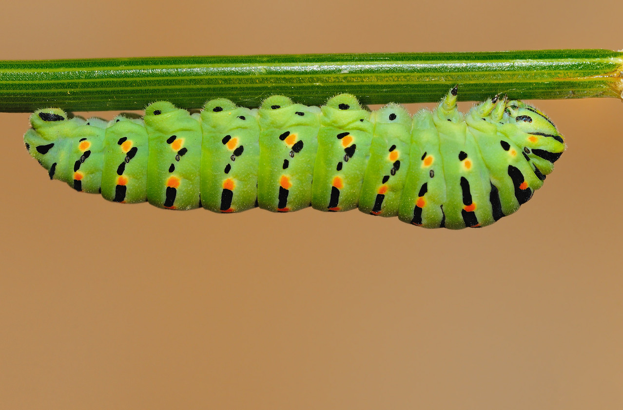 Bruco di Papilio machaon - Caterpillar of Old World Swallowtail