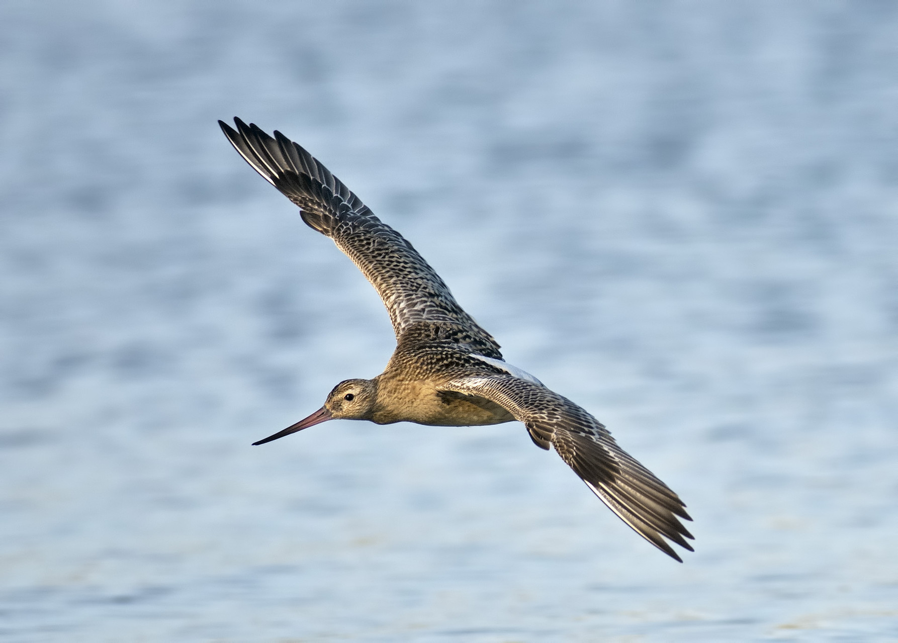 Pittima Minore - Bar-tailed Godwit