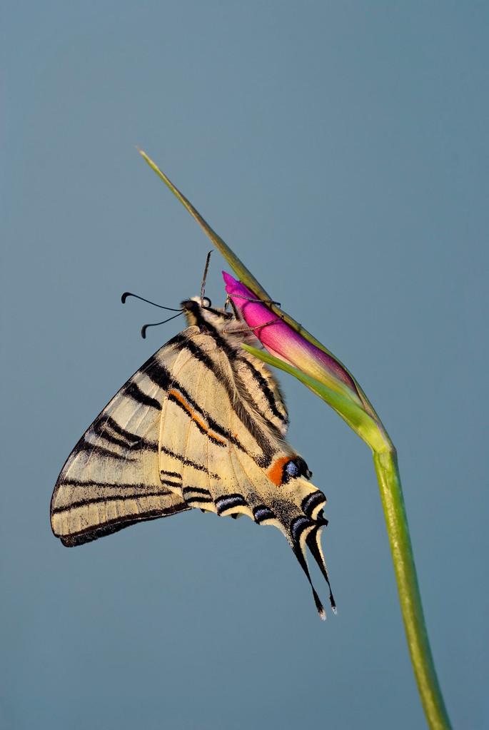 Iphiclides podalirius - Scarce Swallowtail