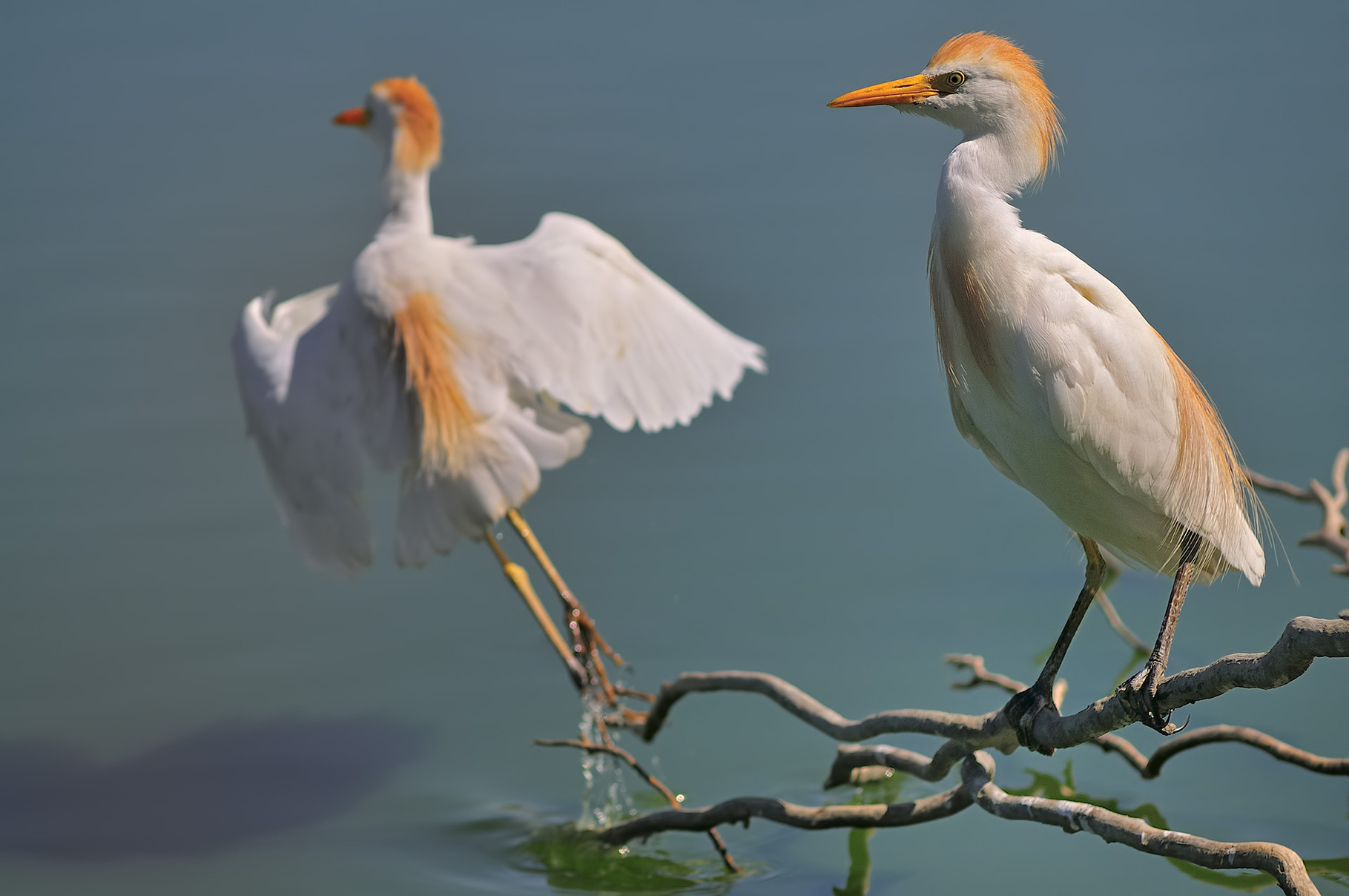 Airone Guardabuoi - Cattle Egret