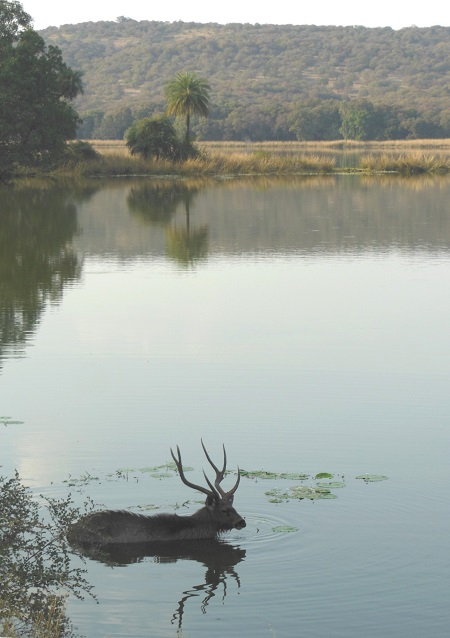 2013 Ranthambore Tiger Preserve - This Sambal Deer in the Lake as Dusk
