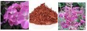 Reduzierung von Hautproblemen: Geranie, Rosenholz, Patschuli bei der Aromatherpie für Hunde