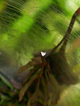Der Schnitt des Stiels eines Gierschblattes zeigt eine dreieckige Form