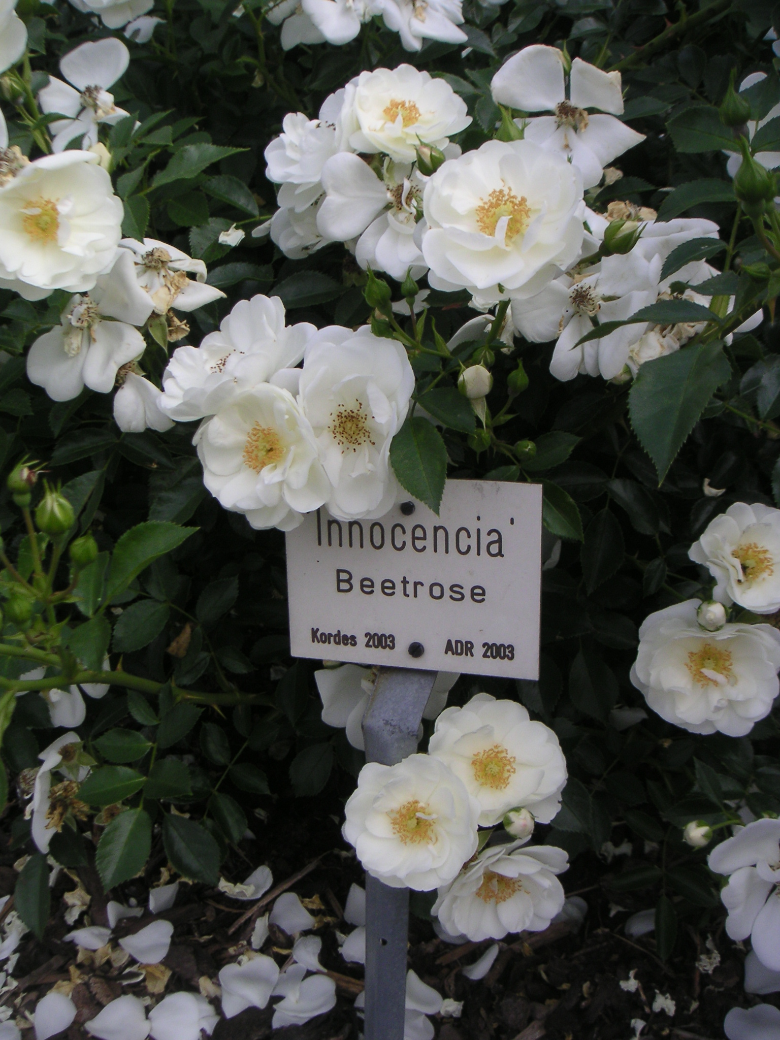 Innocencia - Bodendecker - 80cm