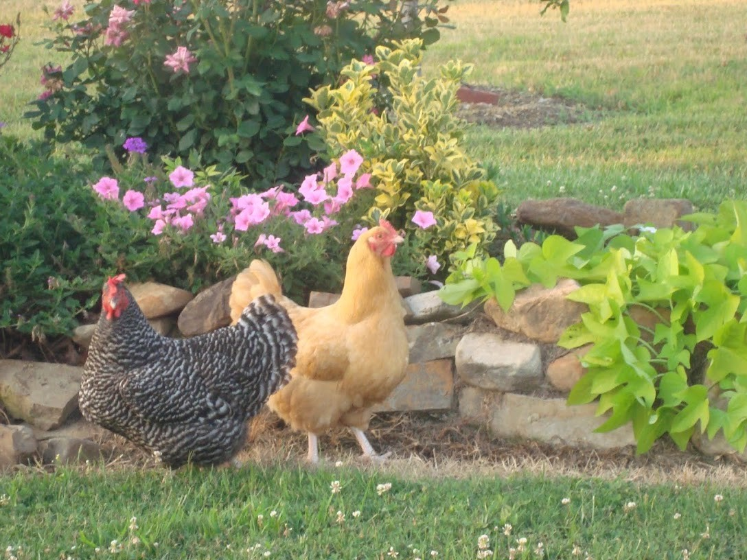 """This is Marsha and one of the """"Mellow's""""...... our faithful little hens that supply us with fresh eggs!"""