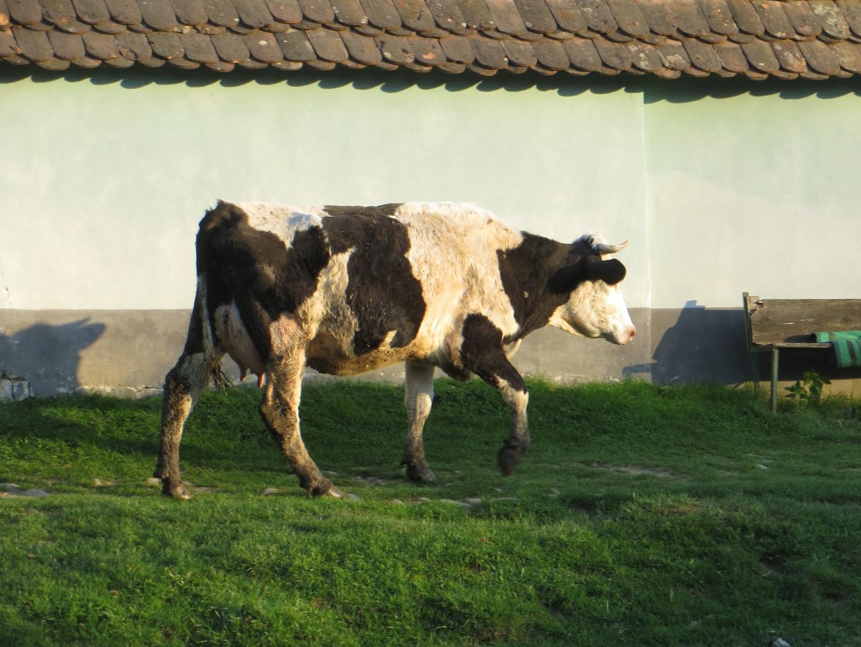 Kuh auf dem Heimweg